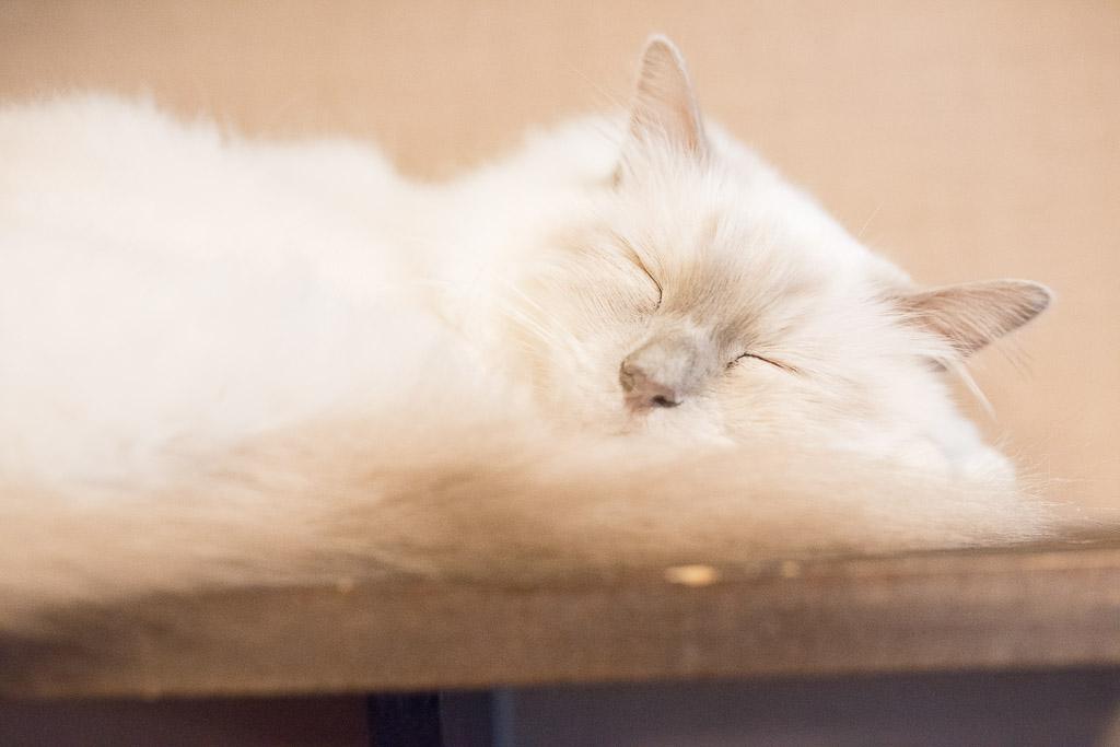 猫カフェ・きゃりこで寝てる白い猫