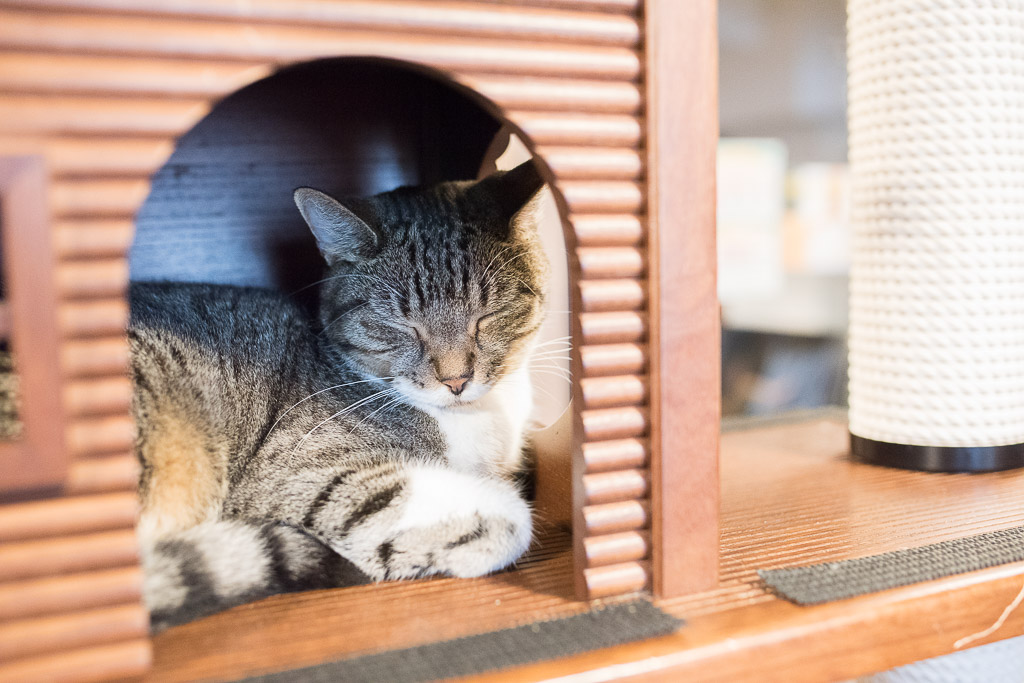 猫カフェ・きゃりこのキャットタワーで寝てる猫