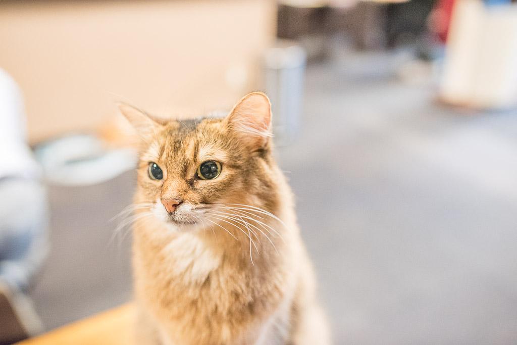 猫カフェ・きゃりこでおやつに目を輝かせる猫