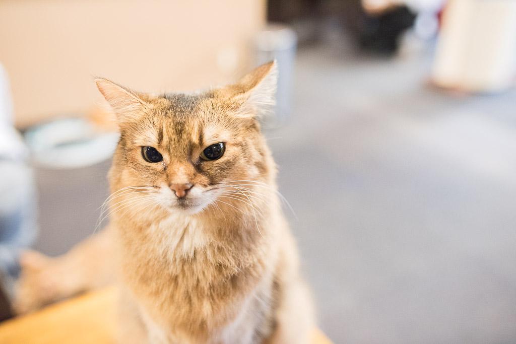 猫カフェ・きゃりこでカメラ目線をする猫