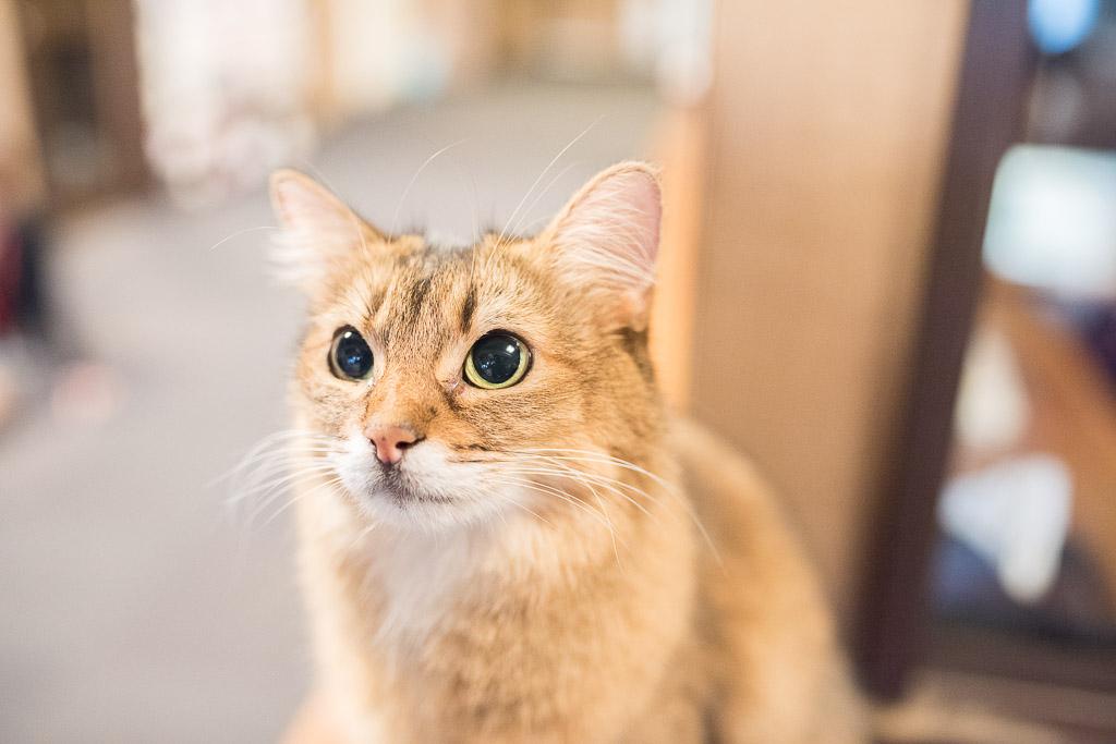 猫カフェ・きゃりこにいる猫