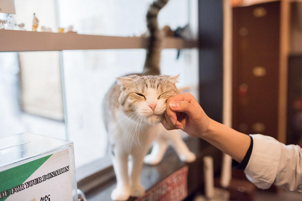 猫カフェ・きゃりこの店員さんに撫でられる猫