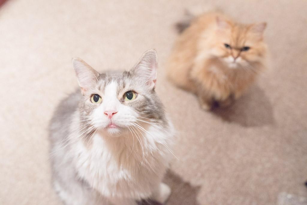 猫カフェ・ジャララでおやつを見つめる猫たち