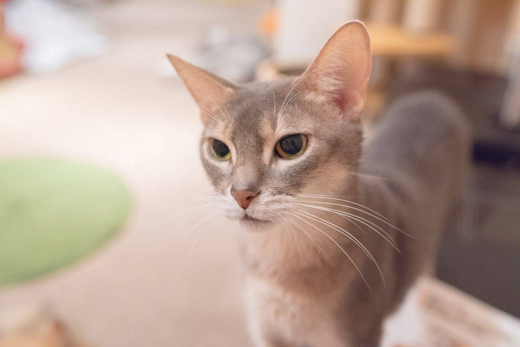 猫カフェ・ジャララのりりしい猫