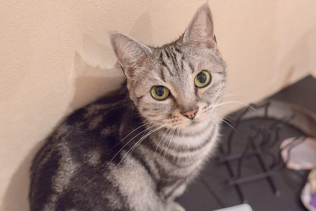 猫カフェ・ジャララにいるつぶらな瞳の猫
