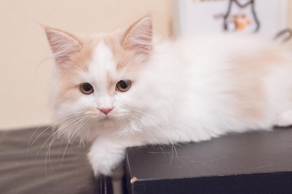 猫カフェ・ジャララにいる長毛種の猫