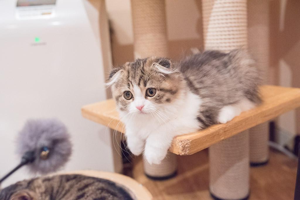 猫カフェ・ジャララの猫とねこじゃらしで遊ぶ