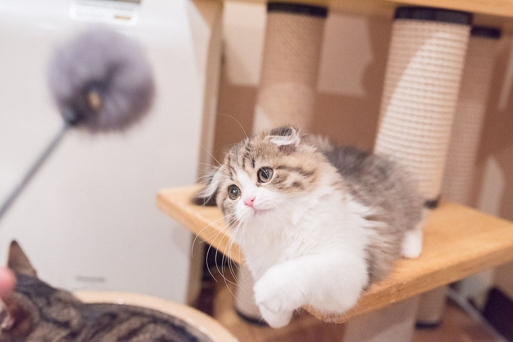 猫がねこじゃらしを狙ってるところ