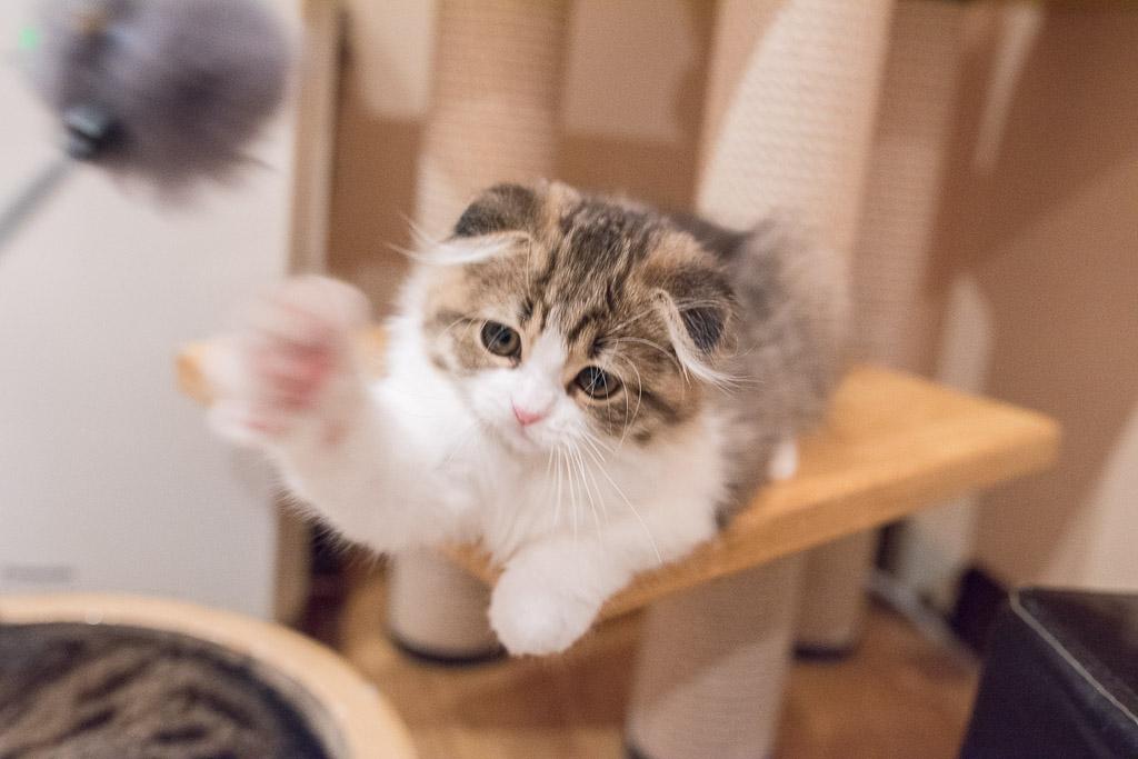 猫がねこじゃらしに猫パンチ