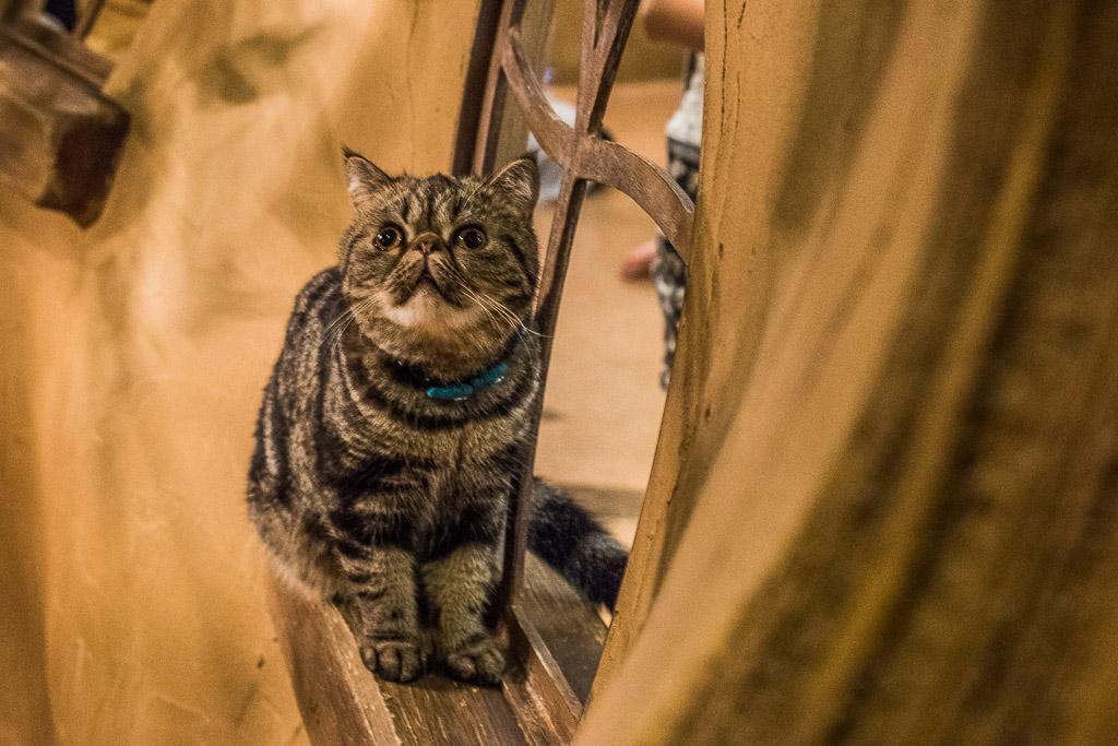 猫カフェ・てまりのおうちのブサカワな猫
