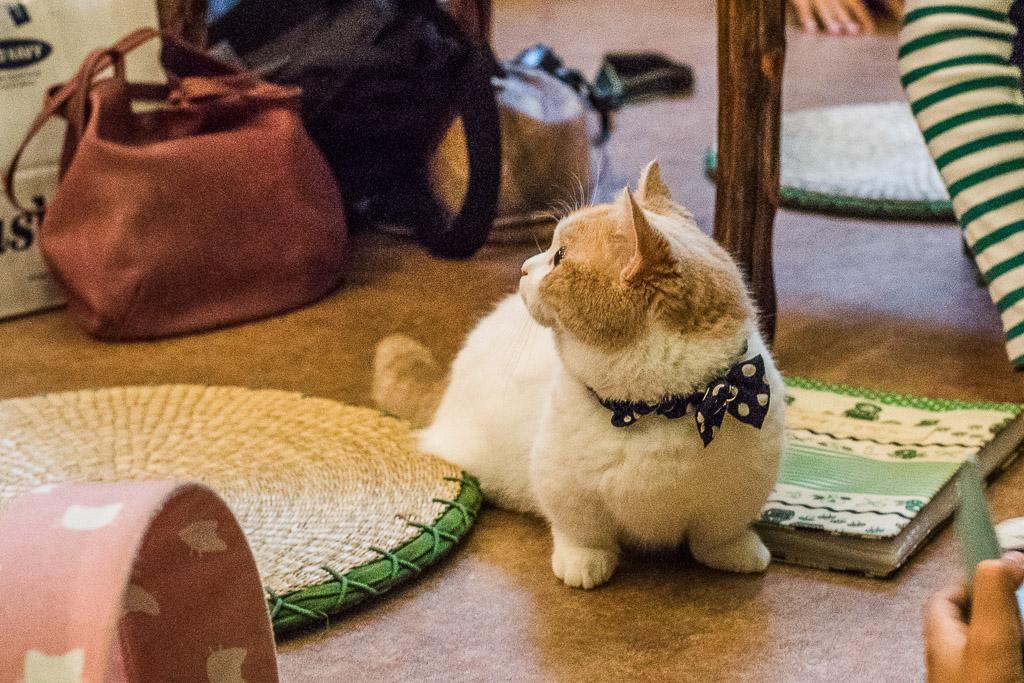 猫カフェ・てまりのおうちの短足な猫
