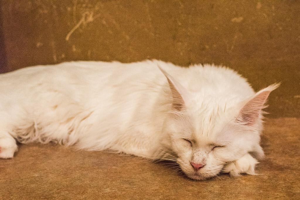 猫カフェ・てまりのおうちで疲れて寝てる猫