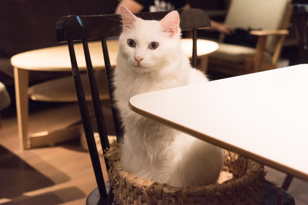 猫カフェ・きゃらふのおとなしい白猫