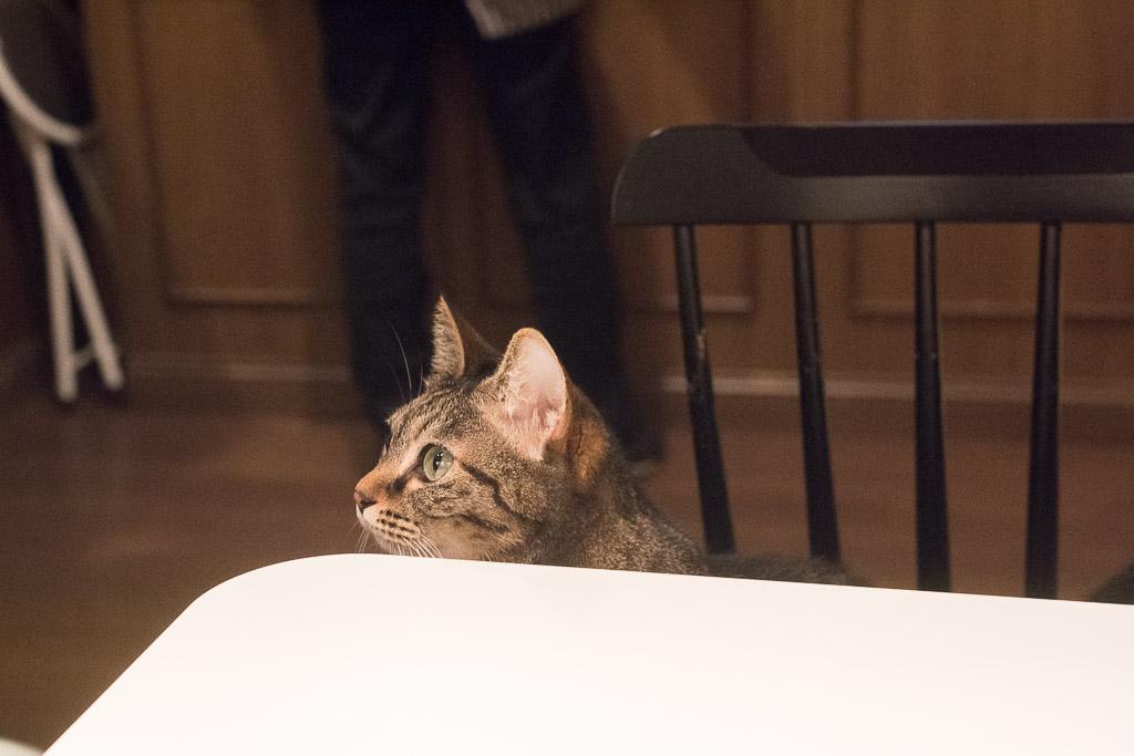 猫カフェ・きゃらふのアメショっぽい猫