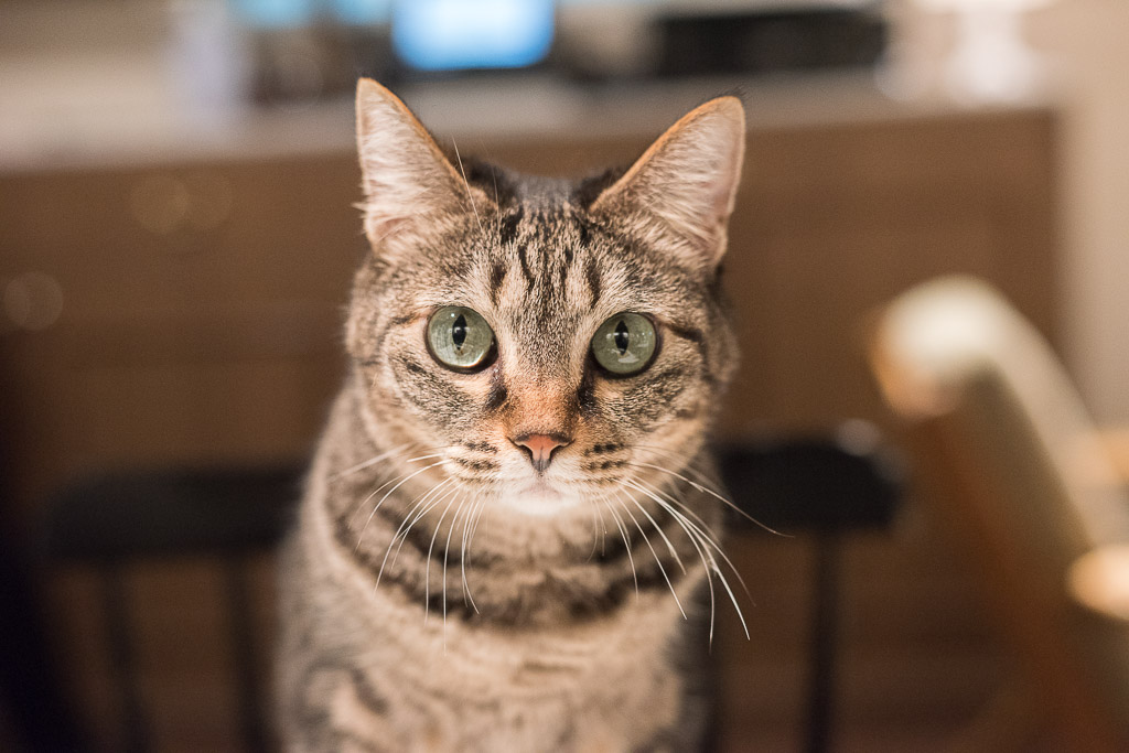 猫カフェ・きゃらふの猫