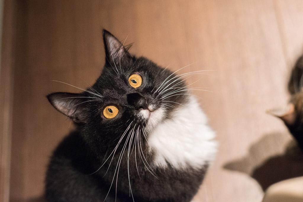 猫カフェ・きゃらふでおやつを狙ってる猫