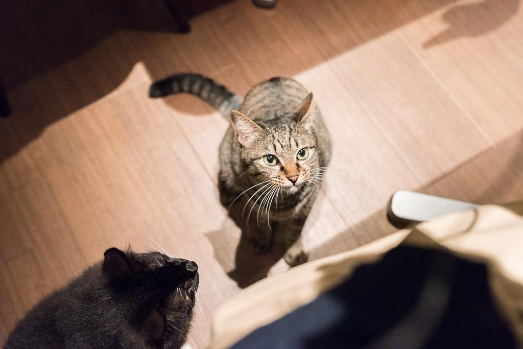 猫カフェ・きゃらふで見上げてくる猫