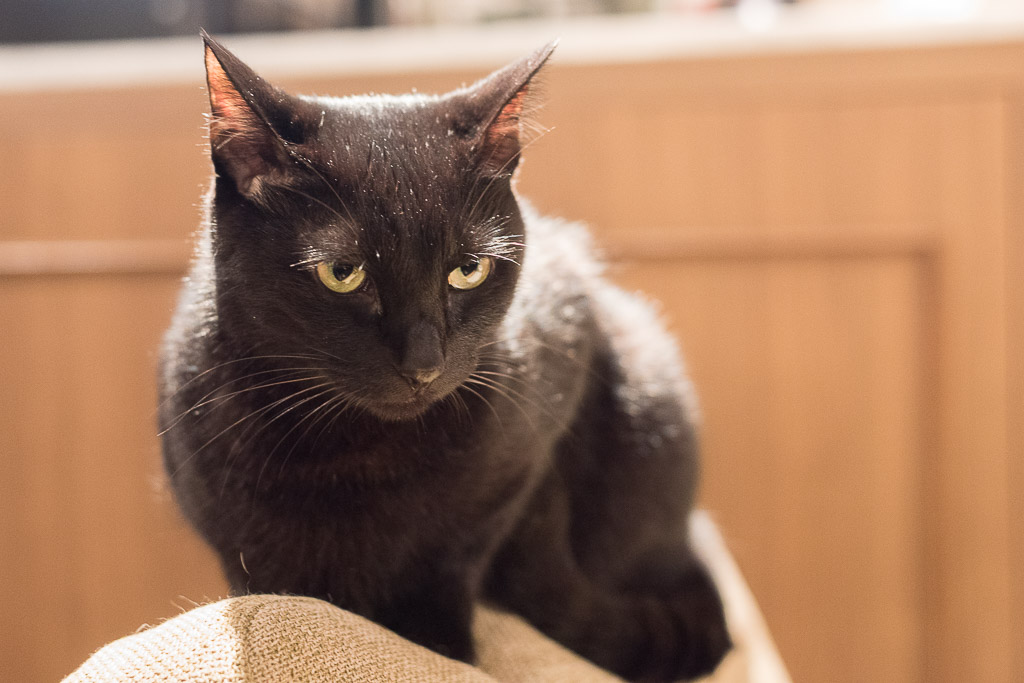 猫カフェ・きゃらふのソファの上に登る黒猫