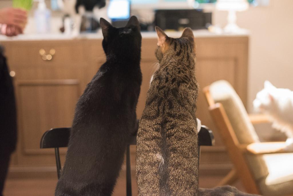 猫カフェ・きゃらふにいた猫の後ろ姿