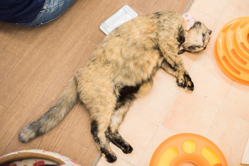 猫カフェ・えこねこの床で爆睡してる猫