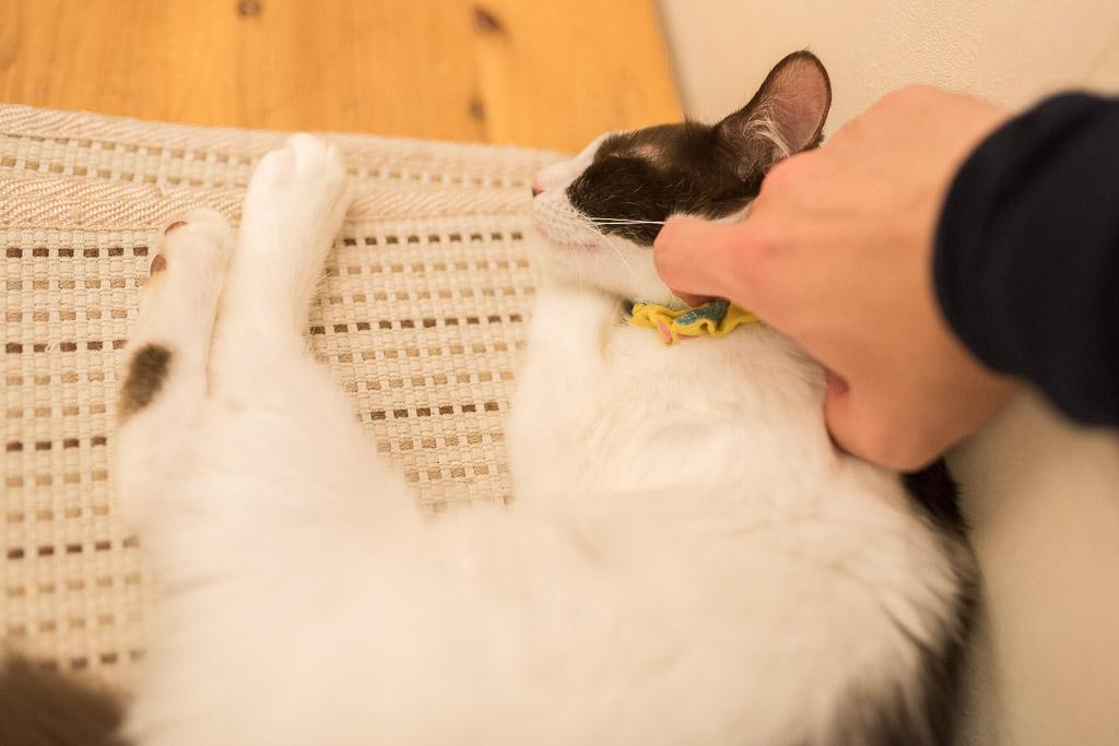 猫カフェ・えこねこの猫は撫でやすい