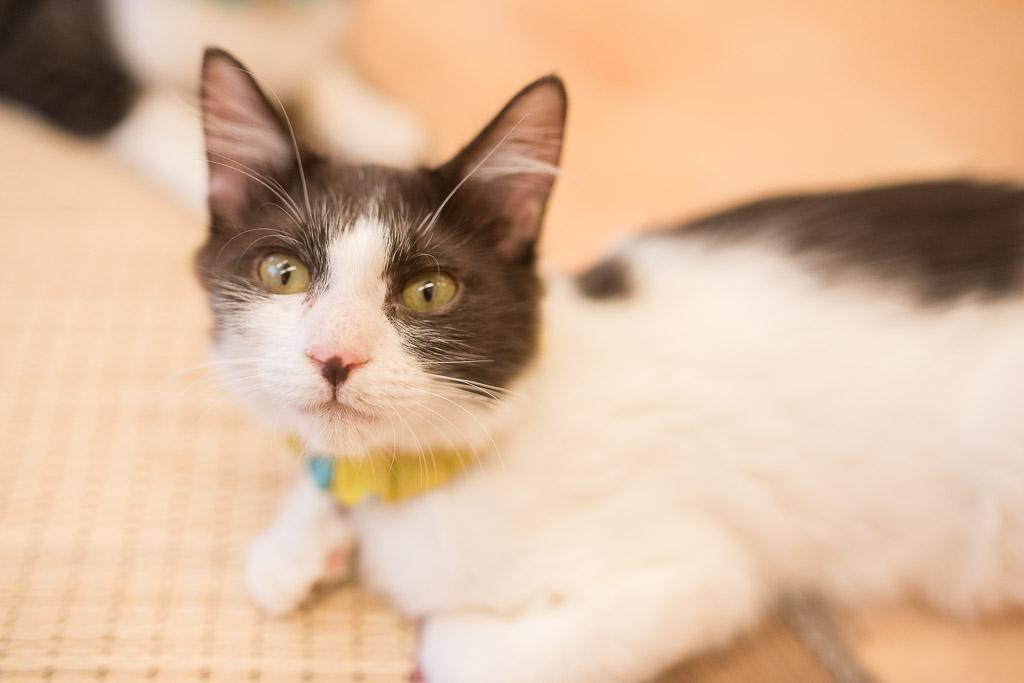 猫カフェ・えこねこにいるつぶらな瞳の猫