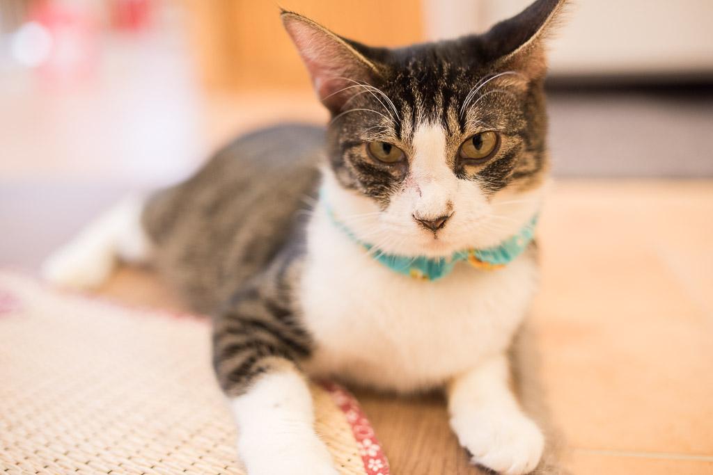 猫カフェ・えこねこのイケメン猫