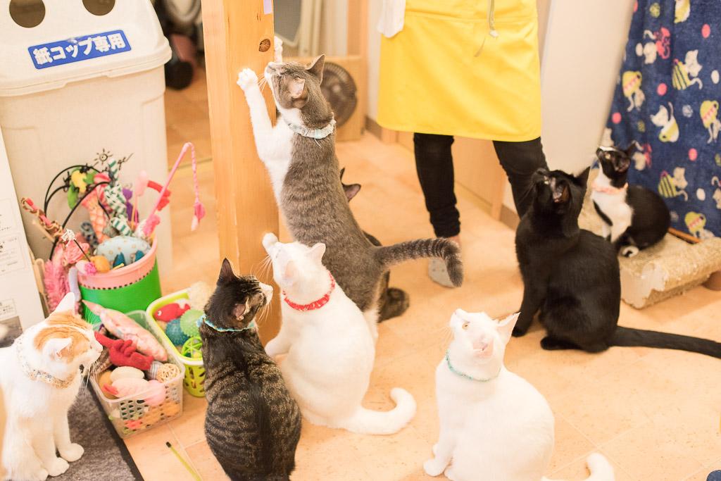 猫カフェ・えこねこのスタッフとおもちゃで遊ぶ猫たち