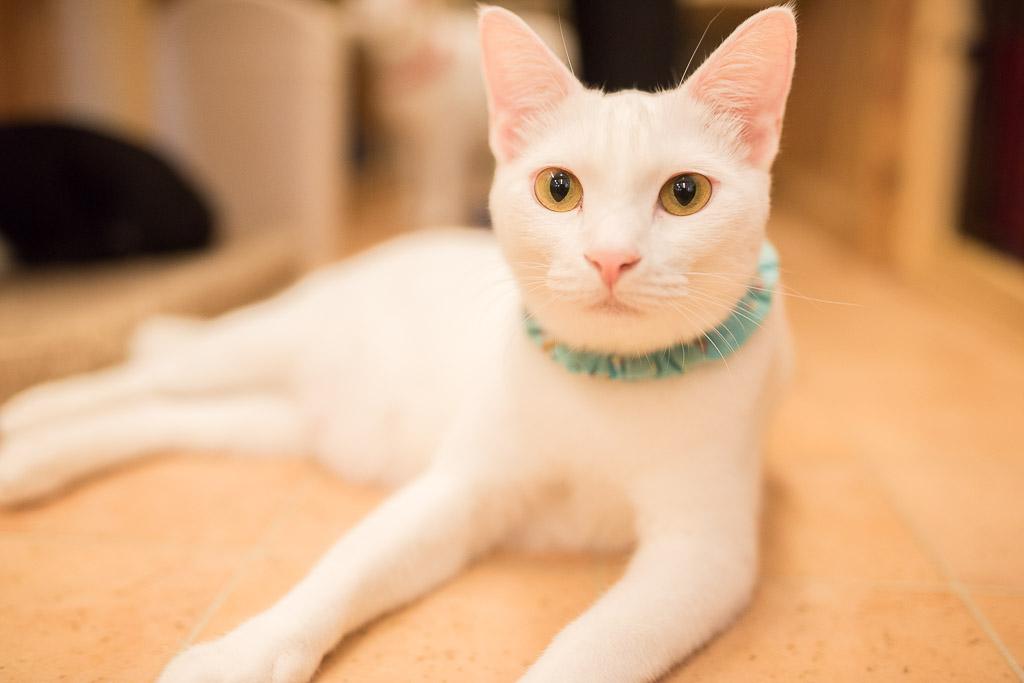 猫カフェ・えこねこのきれいな白猫