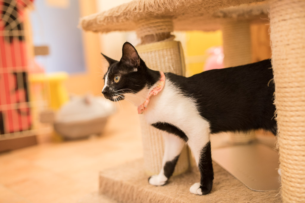 猫カフェ・えこねこにいる白黒の猫