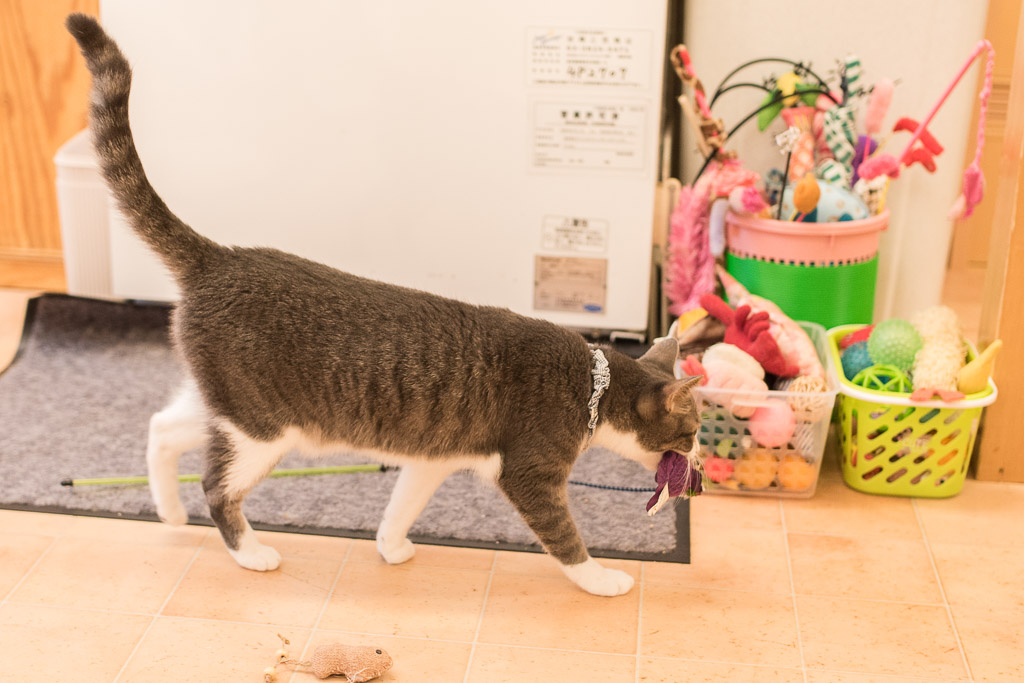 おもちゃを自主的に持ってくる猫