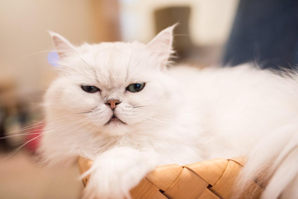 猫カフェ・キャテリアムにいる猫のしろ君