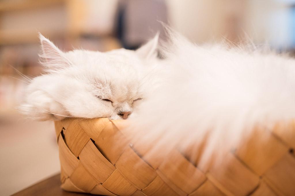 猫カフェ・キャテリアムのしろ君が寝てる