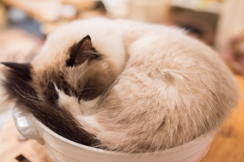 猫カフェ・キャテリアムの猫、ドリー君