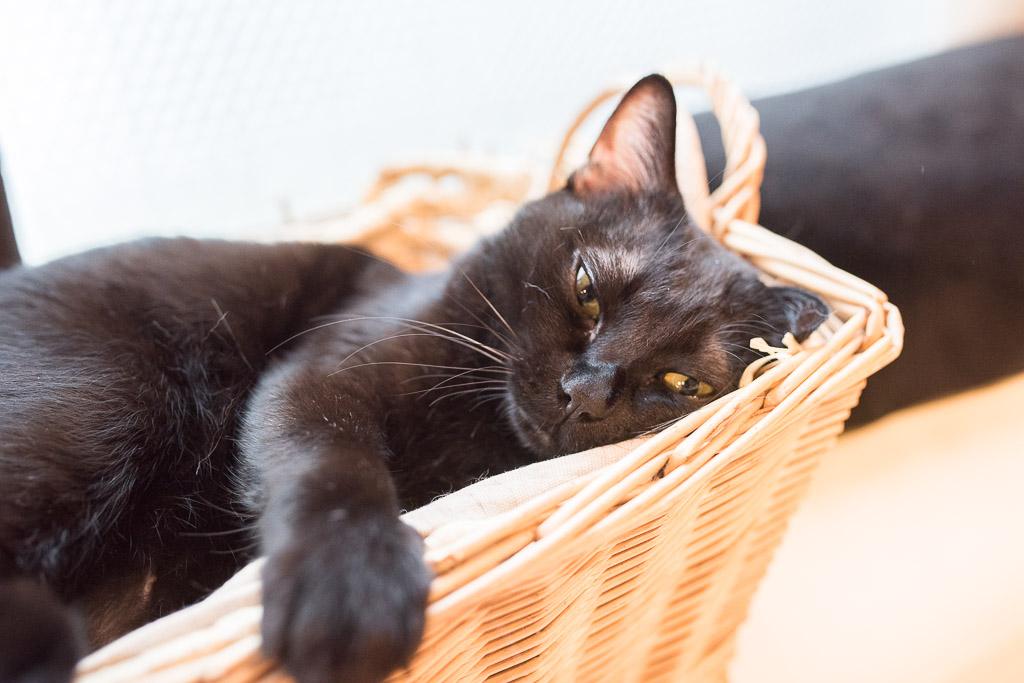 猫カフェ・キャテリアムにいる猫、グリ君