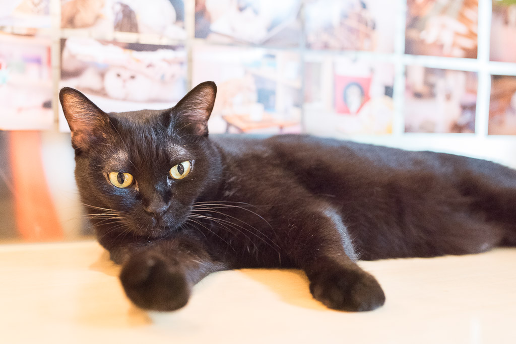 猫カフェ・キャテリアムの猫のグリ君の強い目線