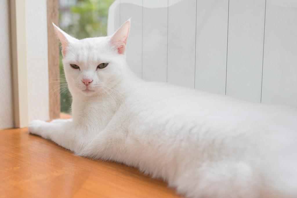 猫カフェ・にゃんことにいるマンチカン