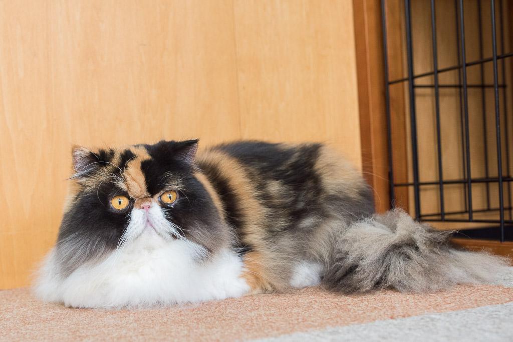 猫カフェ・にゃんことのブサカワ猫