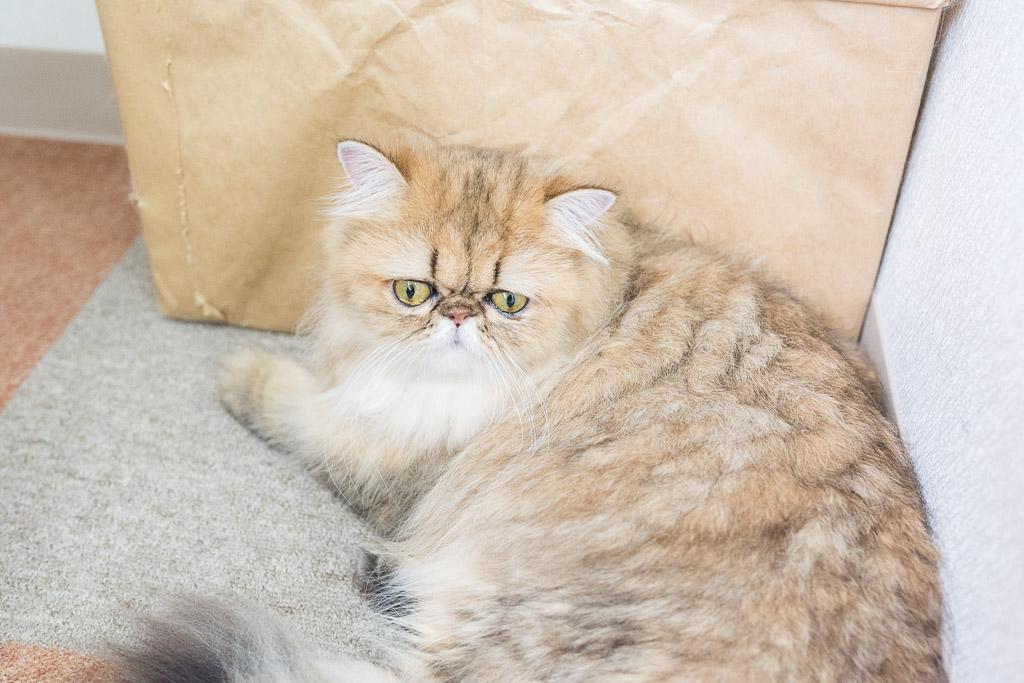 猫カフェ・にゃんことの猫