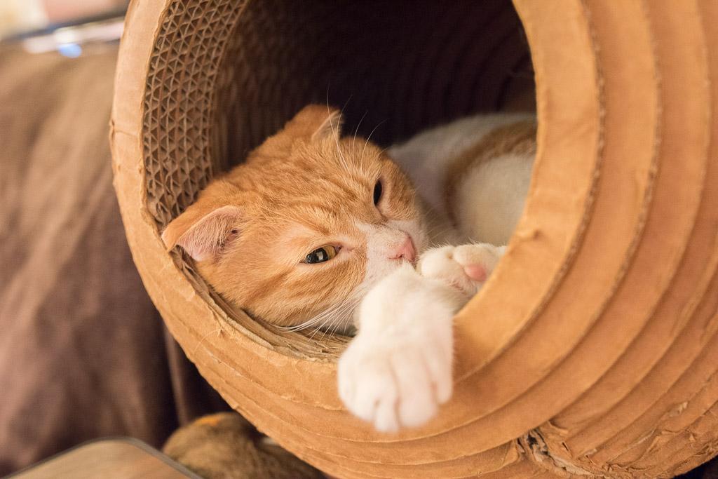 猫カフェ・猫の居る休憩所299の猫