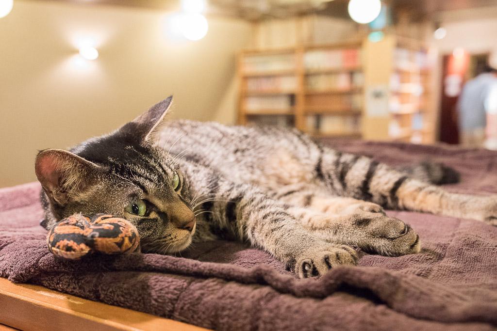 猫カフェ・猫の居る休憩所299にいるのんびりした猫