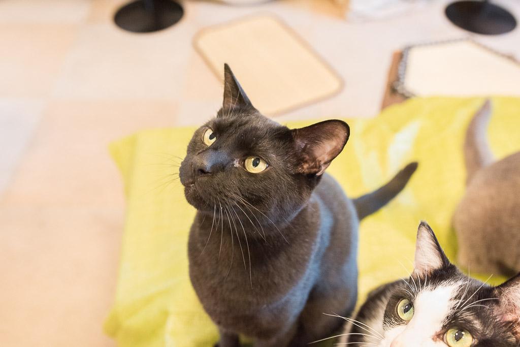 おやつを見つめる黒猫