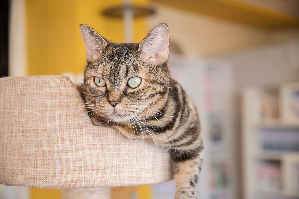 猫まるカフェにいるしましま模様の猫