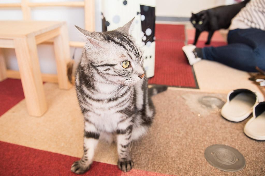 アメショっぽい猫