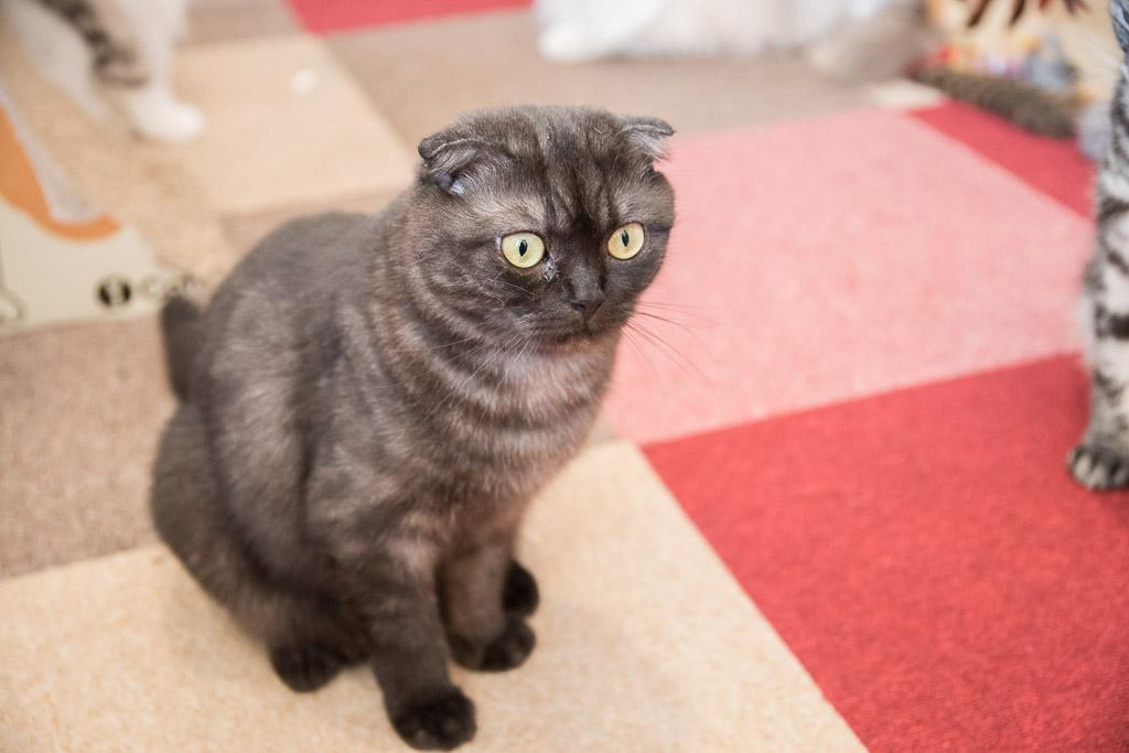 猫まるカフェのスコティッシュフォールド