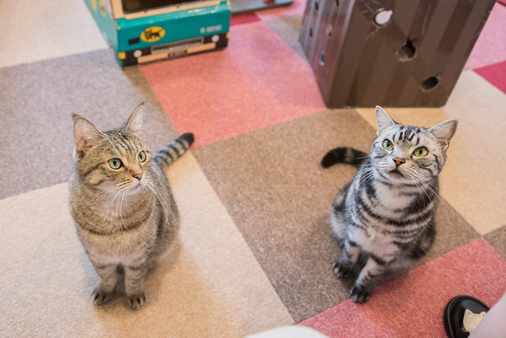 猫まるカフェのおやつを待つ猫たち