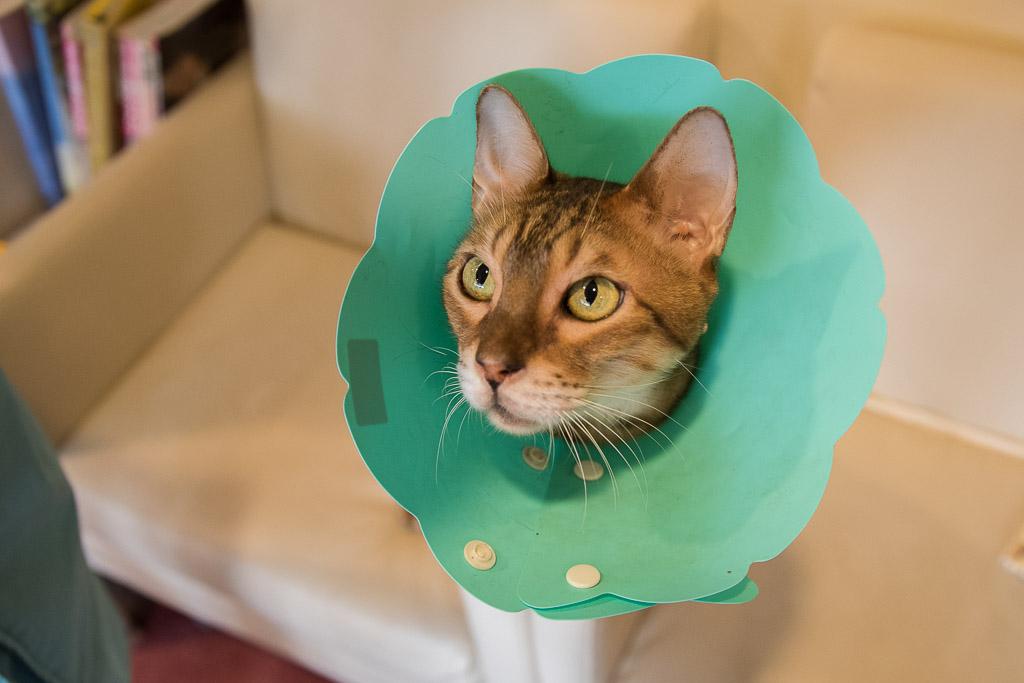 エリザベスカーラーがついた猫