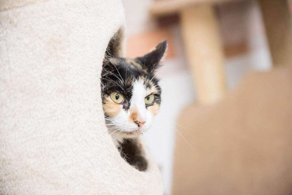 猫カフェ・まちねこにいる遊んでほしそうな猫
