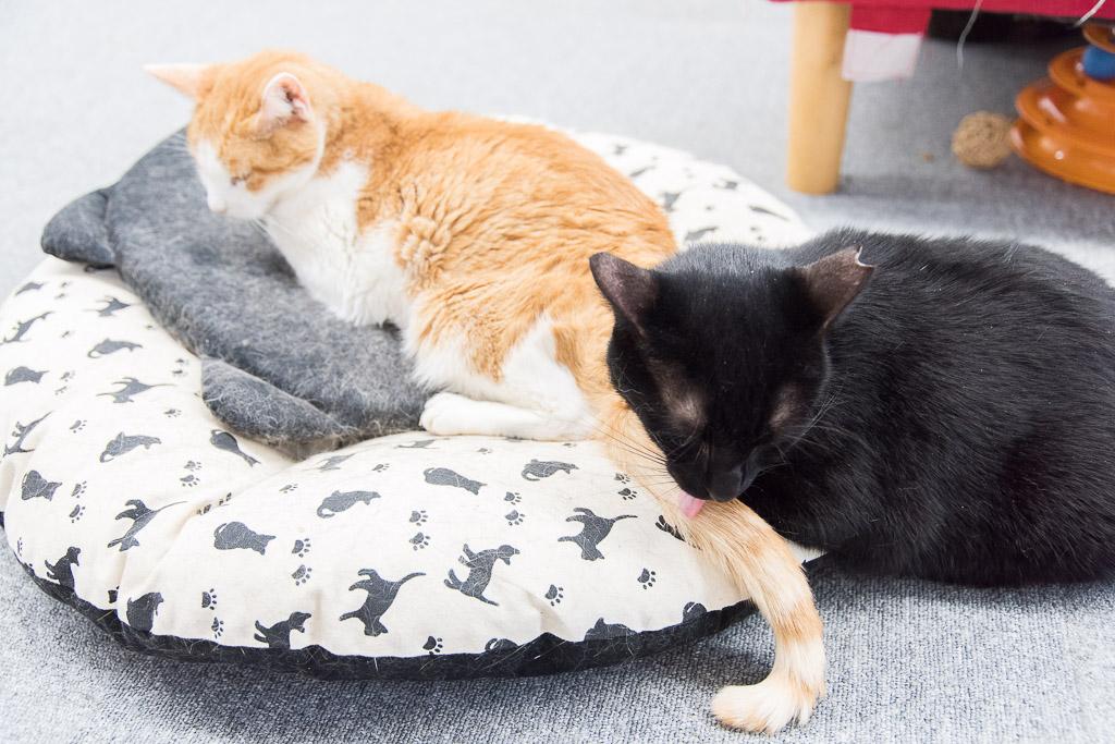 猫カフェ・まちねこの猫たちは仲が良い