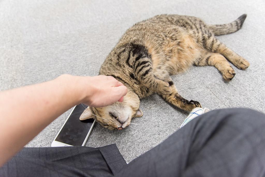 猫カフェ・まちねこの猫を撫でる